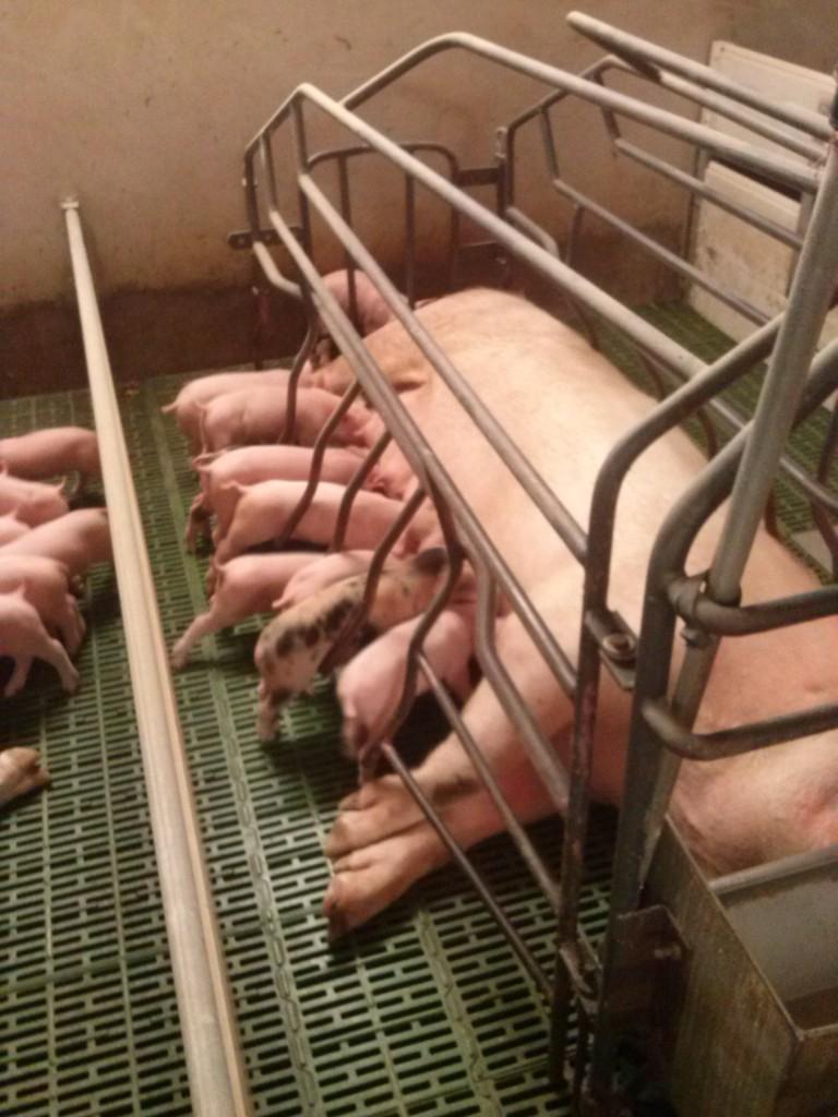 Granja porcino