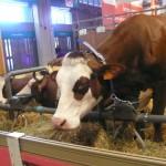 Vaca SIA 2014
