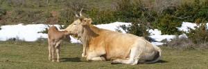 Vaca y ternera