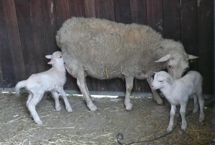 La oveja con sus hijos